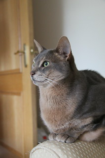 Marco, Abyssinian Cat - IMG_5489