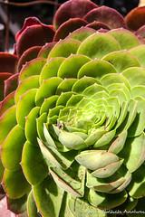 A beautiful succulent in Pacifica, CA (adventurousness) Tags: ca california road trip pacific coast highway succulents pacifica 1 highway1 pacificcoasthighway pacificcoast roadtrip unitedstates us