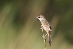 Tawny Grassbird (Alan Gutsell) Tags: tawnygrassbird tawny grassbird birds queenslandbirds birding australianbird alan wildlife nature hinterland