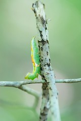green and yellow caterpillar (Ginny Williams Photography) Tags: caterpillar greencaterpillar invertebrates nature insects macro bugs beautifulcaterpillar bokeh naturephotography northcarolinaphotographer northcarolinaphotographers northcarolinanaturephotographer northcarolinawildlife ncwildlife