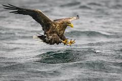Talons loaded - White-tailed Eagle (andy_harris62) Tags: whitetailedeagle wte eagle seaeagle isleofmull mull talons birdofprey fishing nikond850 nikon wildlifephotography nature