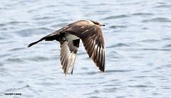 Pomarine Skua J78A0694 (M0JRA) Tags: birds flight flying wildlife rats walks gardens parks fields trees lakes ponds ducks swans rspb