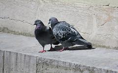 """Non chéri, pas ce soir..."" ""No darling, not tonight"" (2) (Bangui59) Tags: pigeons biset"