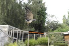 Falconry Centre Hagley (maddoctorartist) Tags: birds birdsofprey kestrel eagle buzzard owl baldeagle americankestrel fisheagle commonbuzzard spectacledowl barnowl tawny