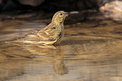 Verzellino (Marcello Giardinazzo) Tags: verzellino natura wild birds avifauna uccelli bird