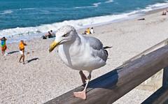 """""""Mach Platz!"""" """"Give way!"""" (schreibtnix on 'n off) Tags: reisen travelling frankreich france étretat strand beach tiere animals vögel birds silbermöwe herringgull larusargentatus nahaufnahme closeup machplatz giveway olympuse5 schreibtnix"""