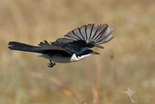 Restless Flycatcher