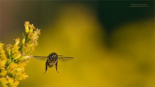 Yellow Jacket in flight.
