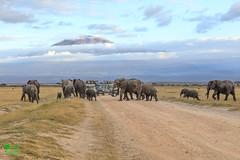 20180805IMG_7223.jpg (jmcenern) Tags: africa mtkilimanjaro kenya amboselinationalpark elephant