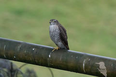 Sparrowhawk (rhys.thatcher) Tags: birds british sparrowhawk