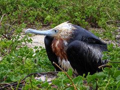 All Flights Cancelled (ggppix) Tags: greatfrigatebird fregataminorridgwayi pirate pirata genovesa island isla galápagos pájaro kleptoparasitism rain waterlogging grounded wet feathers rainy 鳥 vogel πουλί 鸟 птица madár kuş uccello oiseau pássaroطائر soggy