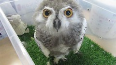 Baby snowy owl (billnbenj) Tags: barrow cumbria owl snowyowl raptor birdofprey