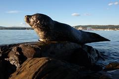 ... (johnpaddler) Tags: oslo norway oslofjord oslofjorden phocavitulina commonseal