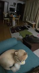 Four Cats in Semi-Darkness (sjrankin) Tags: 19august2018 edited animal cat bonkers argent norio tigger panorama dark darkness couch dinnertable floor mat kitahiroshima hokkaido japan