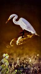 Peaceful Predators (Chris C. Crowley) Tags: peacefulpredators greategret egret bird wildlife animal nature pond lake water wading hunting fishing stealth whitebird reedcanalpark southdaytonaflorida