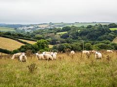 P8190130 (Photopedaler) Tags: sheep ruralscenes countryside farmland