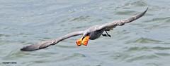 Gull J78A0872 (M0JRA) Tags: gulls birds flight flying wildlife rats walks gardens parks fields trees lakes ponds ducks swans rspb