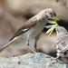 Northern Mockingbird family with Praying Mantis meal