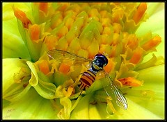 IMG_0566 Undocumented Farm Worker 7-27-18 (arkansas traveler) Tags: hoverfly dahlia bichos bugs insects flowers macros macrolicious nature naturewatcher natureartphotography