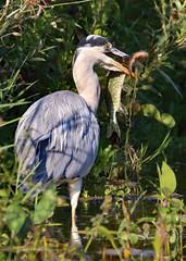 Heron 2-9-18 (legoman1691) Tags: nature wildlife bird wildbird fish heron pike perch catch