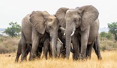 The inner core of the elephant baby's defence (frankmetcalf) Tags: elephant maasaimara kenya savannah eastafrica grassland baby entimcamp