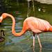 Flamingo - San Diego ZOO  - CA