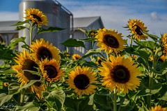 Chilliwack Sunflower Festival 2018 (SonjaPetersonPh♡tography) Tags: chilliwack fraservalley britishcolumbia bc canada nikon nikond5300 sunflowers flowers plants gardens greenhouses landscape festival fields sunflowerfields visitors