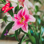 Pink lily flower thumbnail