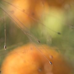 Une certaine vision des choses * (Titole) Tags: grasses titole bokeh nicolefaton rosedinde orange eragrostisspectabilis squareformat