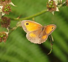 2018_07_0595 (petermit2) Tags: gatekeeperbutterfly gatekeeper butterfly hatfieldmoors hatfield lindholme doncaster southyorkshire yorkshire peat bog humberheadpeatlands humberhead naturalengland nnr