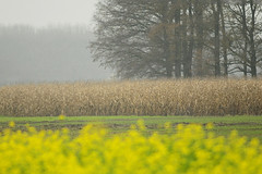 A misty day / ein nebeliger Tag (Manfred_H.) Tags: landscape fields corn trees cops grove wäldchen fog mist