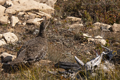 """Dusky Grouse • <a style=""""font-size:0.8em;"""" href=""""http://www.flickr.com/photos/63501323@N07/42817363420/"""" target=""""_blank"""">View on Flickr</a>"""