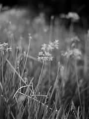 (jasoncremephotography) Tags: flowers contax 645 contax645 film analog istillshootfilm blackandwhite monochrome ilford hp5 flower