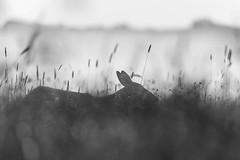 In der Wiese (IIIfbIII) Tags: mammals mecklenburg müritz sonnenaufgang sun light canon reh deer wiese gräser animalphotography animal schwarzweis bw blackandwhite wildlife art fineart nebel fog foggy brume dunst mist wildlifephotography wild blacknwhite black