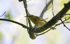 Worm-eating Warbler (Tommy Quarles) Tags: worm eating warbler pine mountain srp kos canon 7d mark ii bird