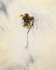 Seaweed Simplicity º (CactusD) Tags: isleofharris scotland235pm13thseptember2018linhoftechnikardans45schneideraposymmarmc150mmf56fujichromevelvia505x4130f226ºfronttiltlee03hardgndrosamol seaweed texture sand detail luskentyre losgaintire traighrosamol beach scotland harris outerhebrides hebrides sea greatbritain great britain epson epsonv850 v850 silverfast uk unitedkingdom gb landscape film fuji fujichrome velvia velvia50 5x4 4x5 largeformat large format linhof technikardan tks45 s45 schneideraposymmarmc150mmf56 150mm f56 schneider aposymmar