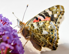 Painted Lady Portraits (Claire Louise Beyga) Tags: butterfly butterflies bigbutterflycount ukbutterflies britishbutterflies greatbigbutterflycount painted paintedlady bugs insect insectlore insects lore portrait nikon dslr pro camera photos photography nature indoors outdoors
