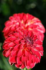 Dahlie - Bad Köstritz 2 (birk.noack) Tags: deutschlandthüringenbadköstritzschlossparkdahliedahlienrotedahlierotedahlienblumeblumendahliagermanythuringiacastleparkdahliadahliareddahliareddahliaflowerflowers deutschland thüringen badköstritz schlosspark dahlie dahlien rotedahlie rotedahlien blume blumen dahlia germany thuringia castlepark reddahlia flower flowers