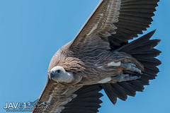 Griffon vulture (Gyps ulvus)-0172 (George Vittman) Tags: bird rapter vulture threathened nikonpassion france provence wildlifephotography jav61photography jav61