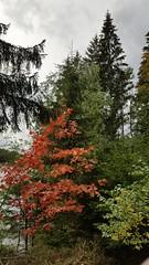 Osterode - Herbstfarben (ohaoha) Tags: europa europe deutschland germany alemania niedersachsen lowersaxony harz osterode riefensbeek sösetalsperre talsperre stausee vorbecken bäume herbstfarben herbstlaub verlobungsweg