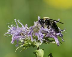Bee_SAF2083 (sara97) Tags: bee bloom citypark copyright©2018saraannefinke flower floweringplant insect missouri nature photobysaraannefinke pollinator saintlouis towergrovepark towergrovepark2018 urbanpark