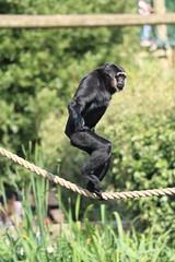 This rope walking is pure monkey business! (charliejb) Tags: bristol bristolzoogardens bristolzoo wildlife mammal 2018 agilegibbon gibbon clifton primate ape