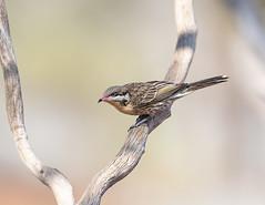 376A9823 (bon97900) Tags: 2018 birds gluepot2526thaug2018 gluepotreserve rivermurray riverland southaustralia spinycheekedhoneyeater