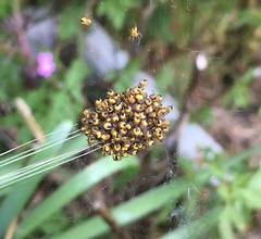 Baby spiders (fjordaan) Tags: 2018 insect macro spider studland