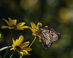MonarchButterfly_SAF3184-1 (sara97) Tags: danausplexippus copyright©2018saraannefinke insect milkweedbutterfly missouri monarch monarchbutterfly nature photobysaraannefinke pollinator saintlouis towergrovepark towergrovepark2018 butterfly