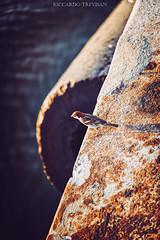 """What's down here?"" (Riccardo Trevisan) Tags: sunny sunset bird sparrow passero passerotto uccellino cutie tiny curious sight close"