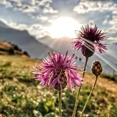 Bon día  -  Good morning (Miquel Lleixà Mora [NotPRO]) Tags: sol sunrise sun sortidadesol paisatge landscape flor flower life vida mountain muntanya raigdesol light silhoute silueta contrallum backlight