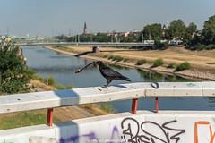 raven on the Bridge - July 2018 II (boettcher.photography) Tags: july juli sashahasha boettcherphotography boettcherphotos germany deutschland badenwürttemberg sommer summer mannheim