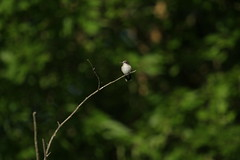 IMG_0432 (davekremitzki) Tags: hummingbird lincoln memorial garden illinois