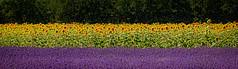 Le drapeau de la Provence (Ralf Westhues) Tags: lavendel lavender lavande provence sonnenblumen tournesol sunflower drapeau flag flagge violett gelb france frankreich blumen flowers fleurs outdoor landschaft landscape campagne jeaune yellow